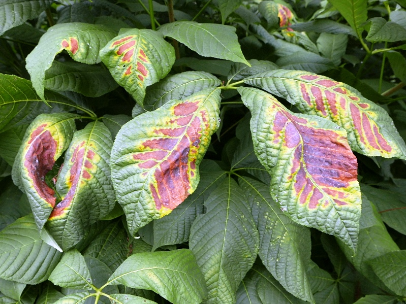 Physiological leaf scorch on bottlebrush buckeye