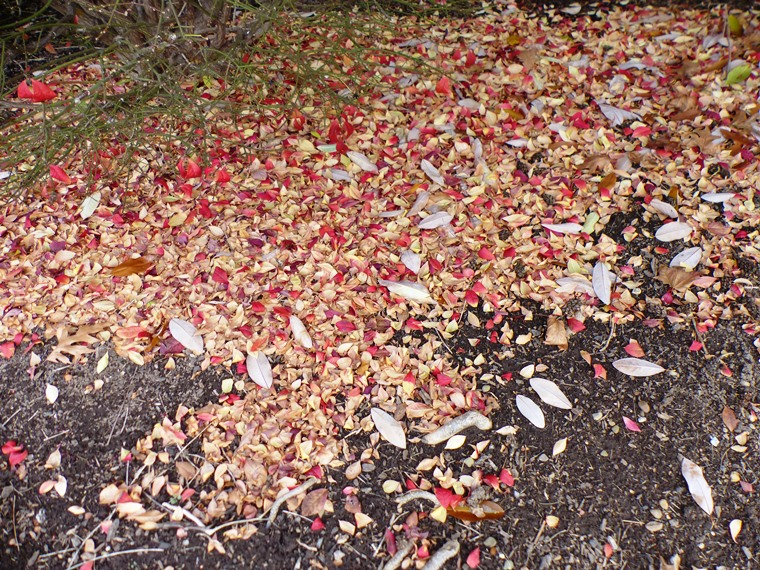 fallen leaves of sweetbay magnolia and winged euonymus