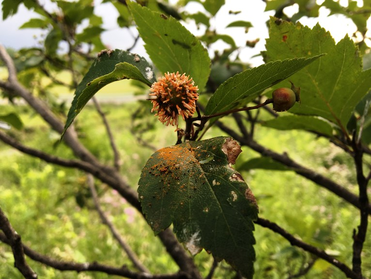 cedar-quince rust fungal spores being released