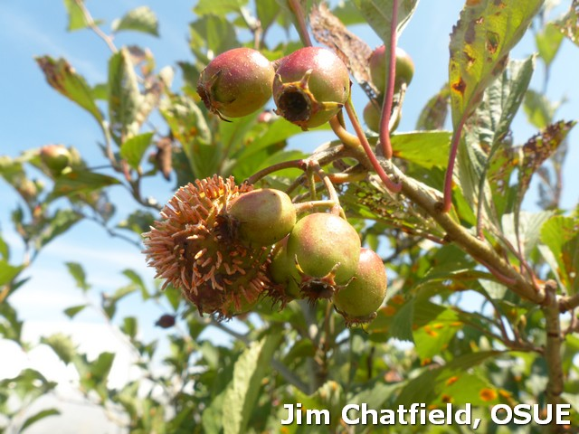 cedar quince rust on hawthorn fruits in late July