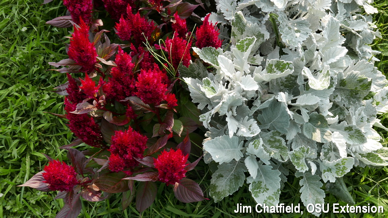 Celosia and Dusty Miller together.
