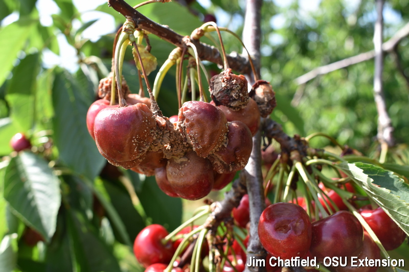 Brown rot on cherry