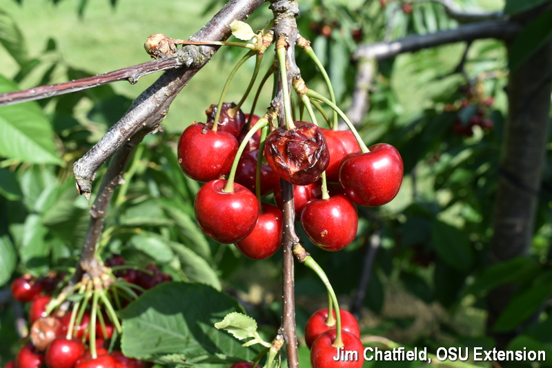 Cherry in cluster with fruit cracking