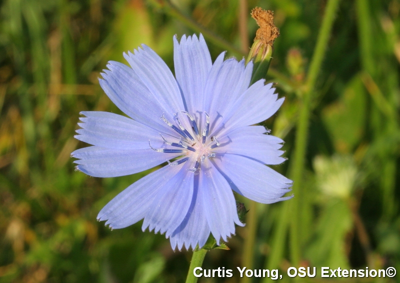 A single chicory blossom