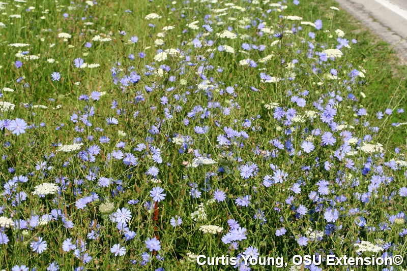 Chicory blooming mixed with wild carrot by the roadside.
