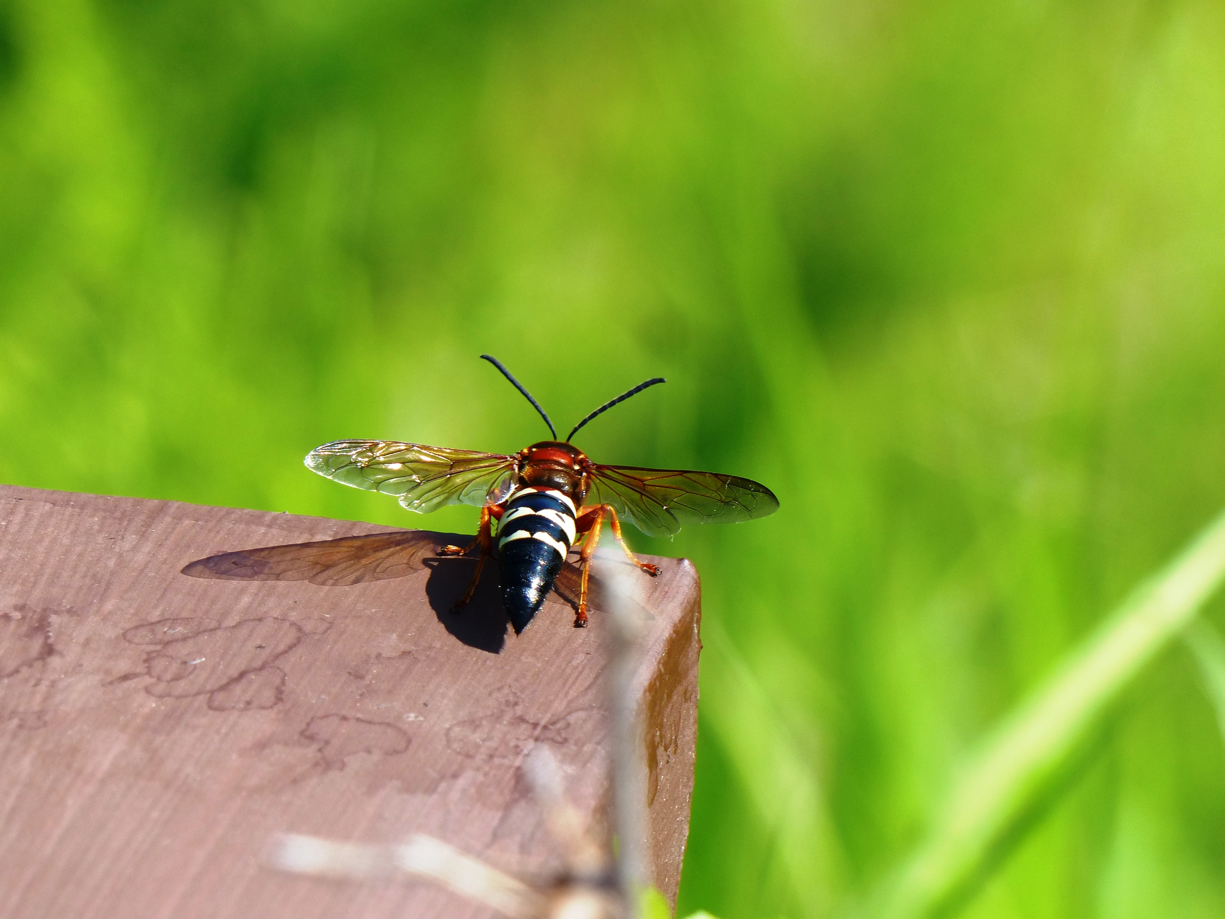 cicada killer wasp prepares to take off