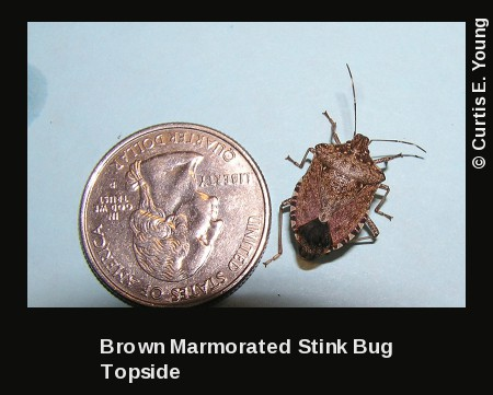 Brown marmorated stink bug next to Quarter for size comparison