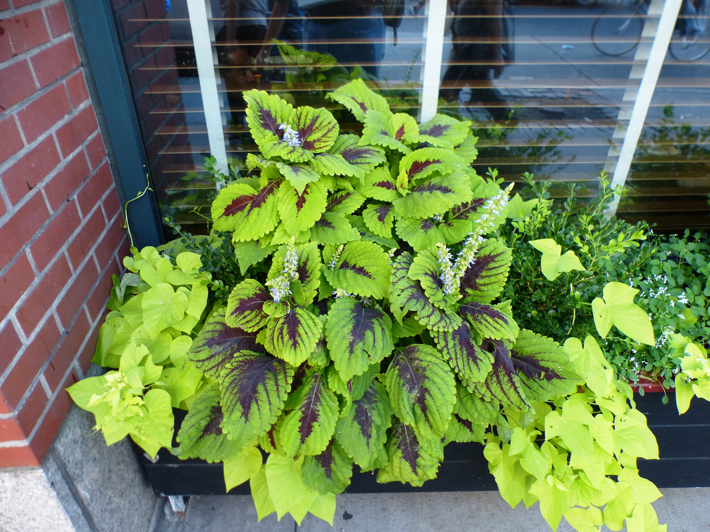 Coleus in NYC with flowers and foliage