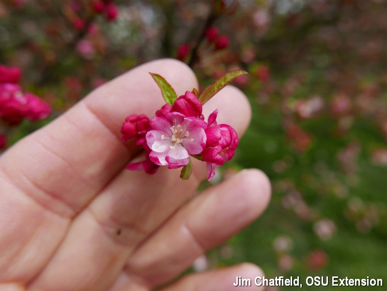 'Coralburst' crabapple opens to springime warmth