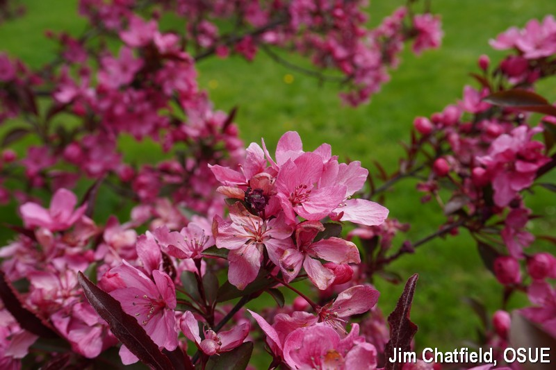 Showtime crabapple with frost damage