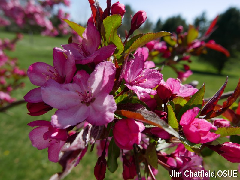 Strawbwerry Parfait crabapple blossoms