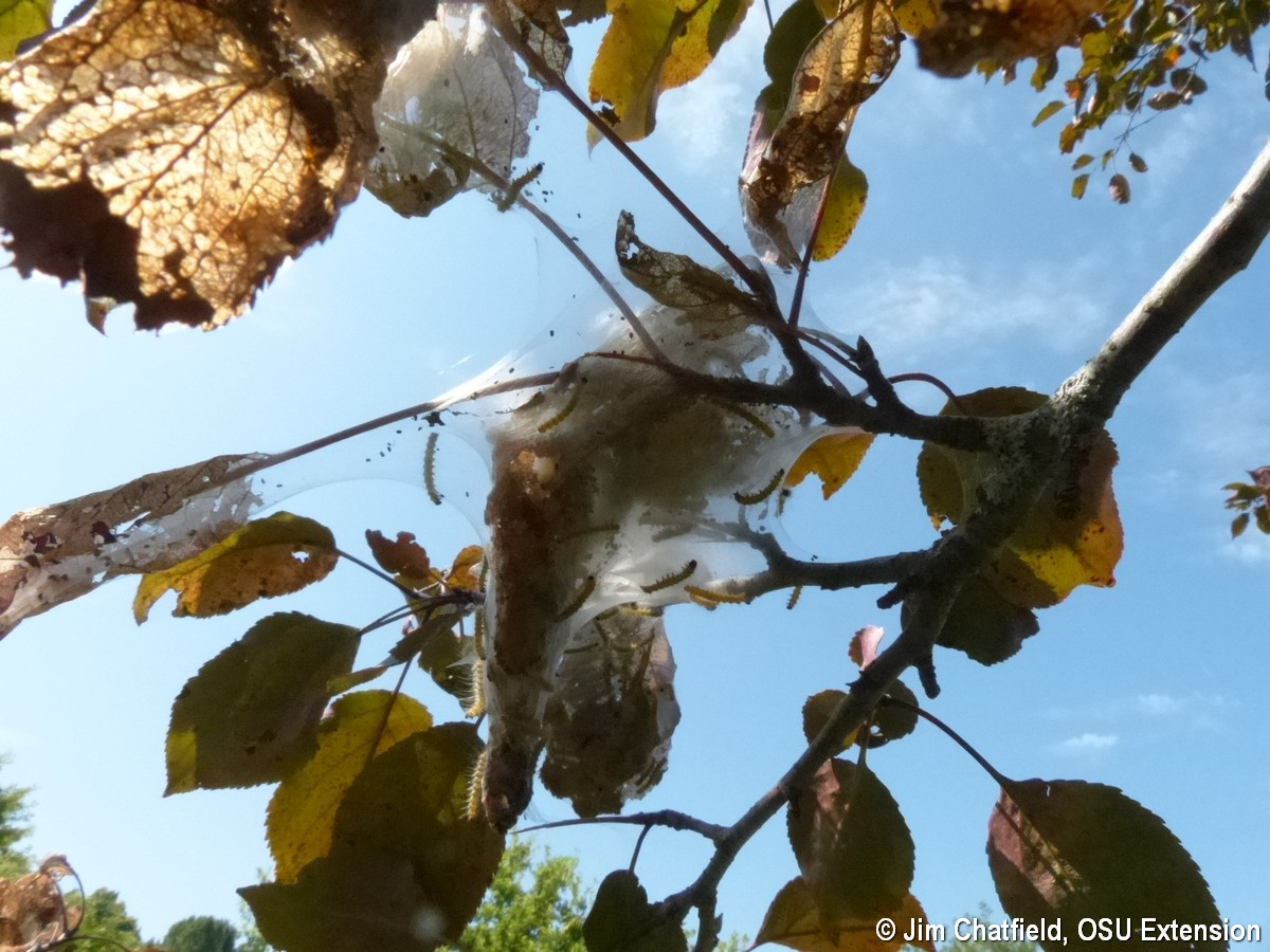 Fall webworm nest in crabapple