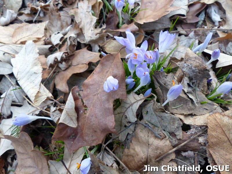 Crocus pushing up through the leaf mold