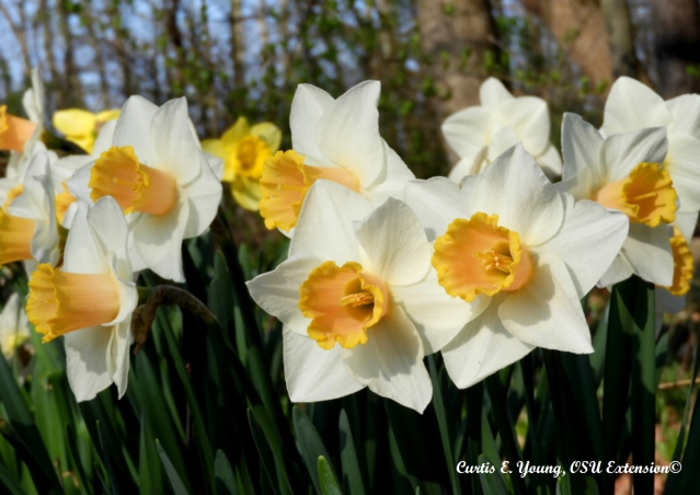 Daffodil with white tepals and yellow coronas.