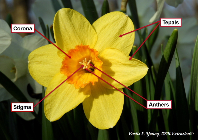 Daffodil flower anatomy.