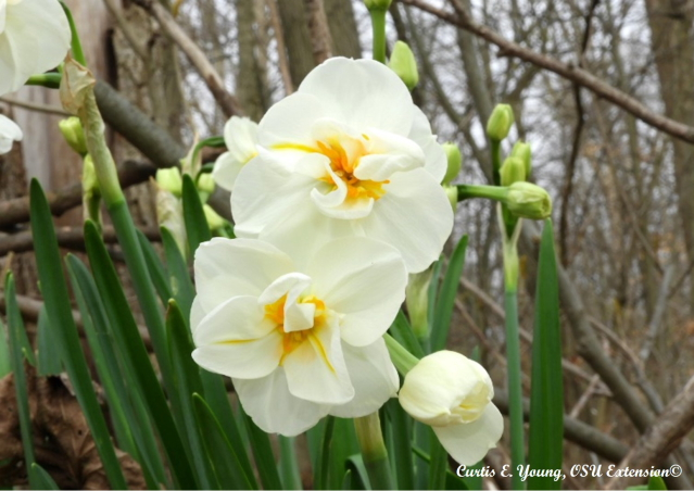 A Division IV double blossom daffodil that produces multiple flowers per floral stack.