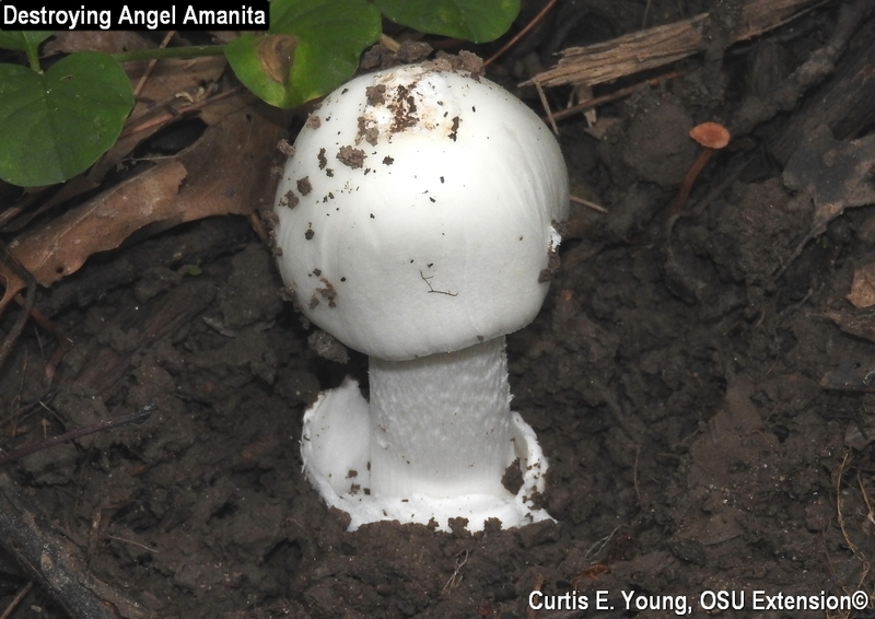Young destroying angel emerging from the soil