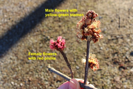 male and female silver maple flowers