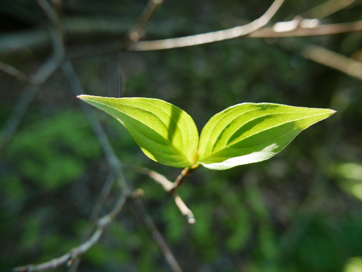 Kousa dogwood leaves on May 9 in northeast Ohio