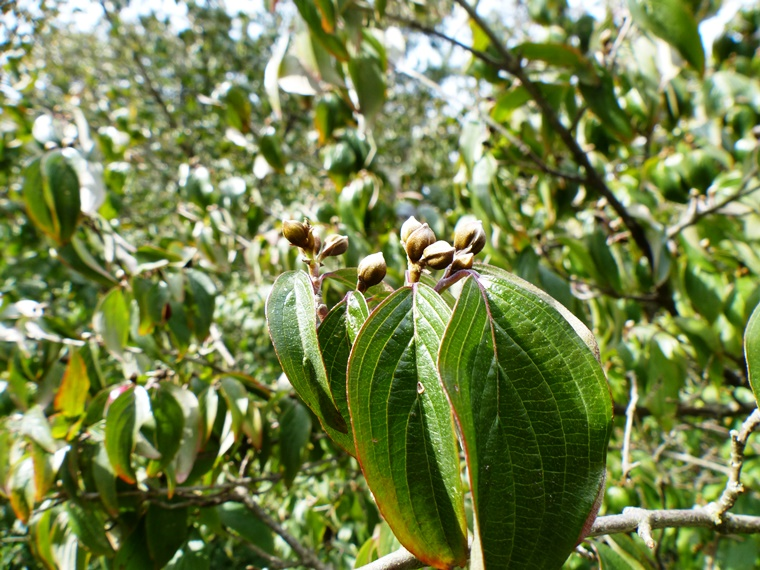 Corneliancherry dogwood buds and foliage