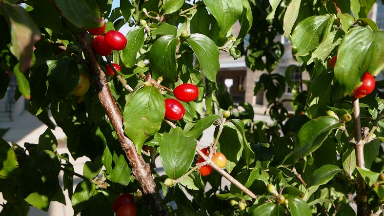 Corneliancherry dogwwood fruits