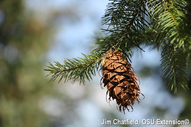 Douglasfir needles and cone