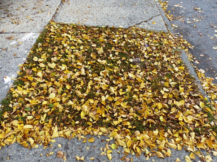 yellow elm leaves on ground