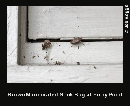 Brown Marmorated Stink Bug Invading Home