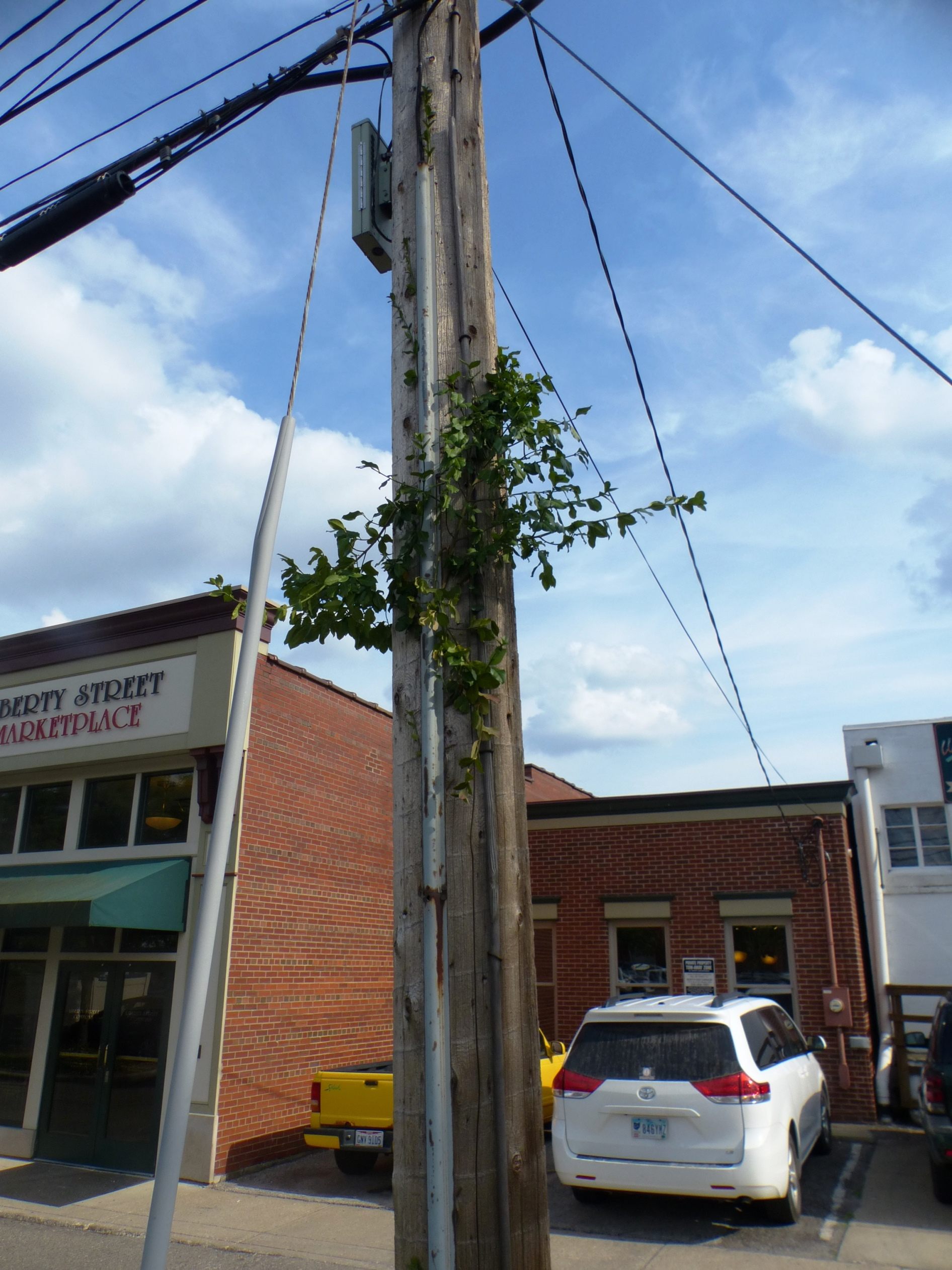 euonymus emerges up the utility pole