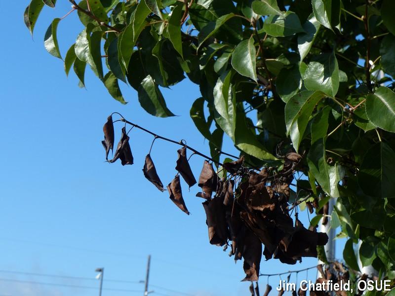 Fireblight of Callery pear