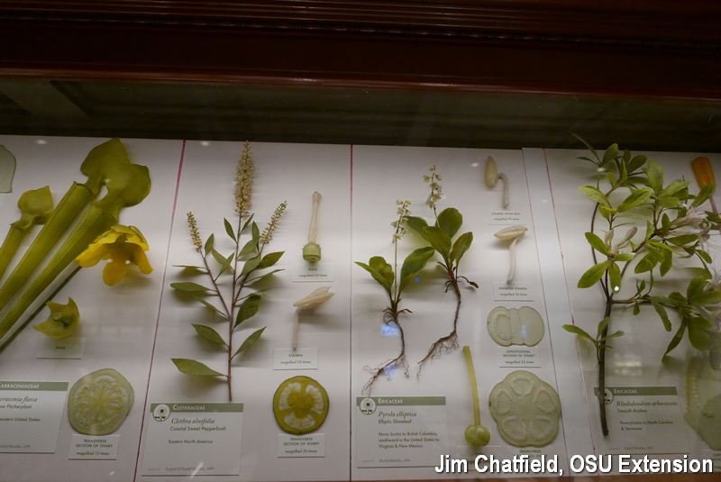 Clethra and Glass Flower Exhibit at Harvard