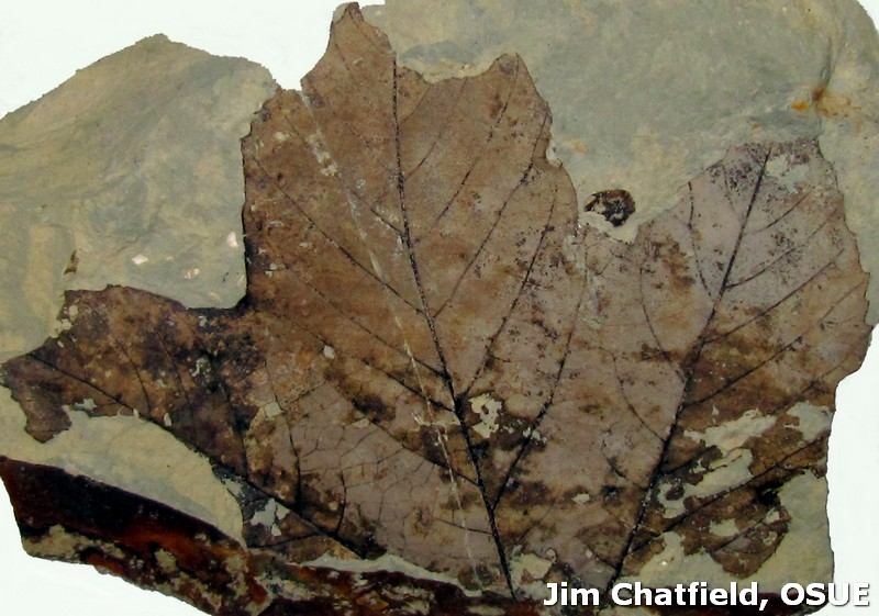 Fossil planetree