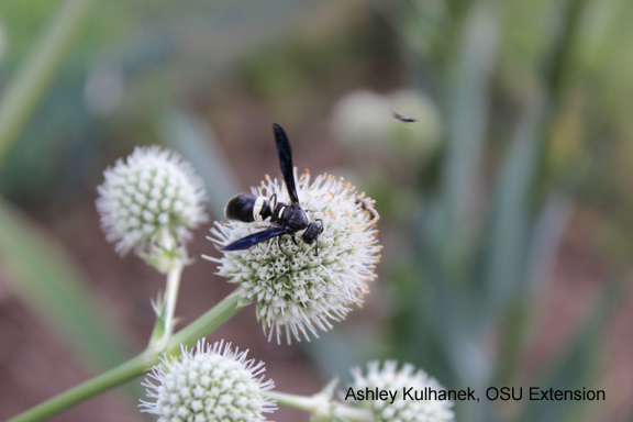 four toothed mason wasp