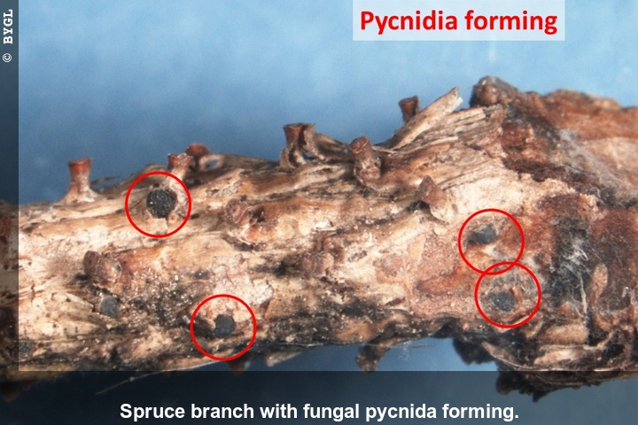 Blue spruce branch showing Phomopsis fruiting structures (pycnidia) developing