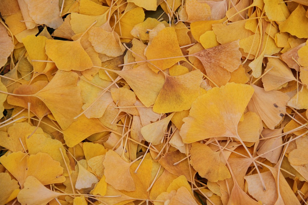 fall color of gingko leaves