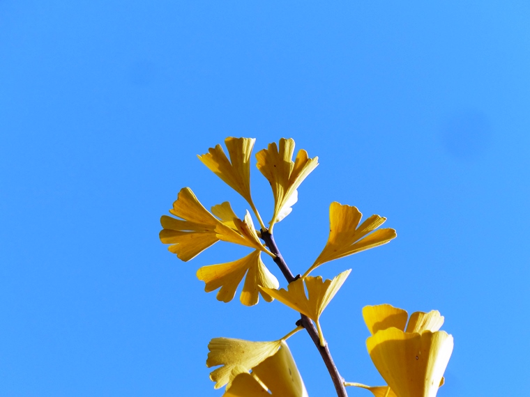 Golden ginkgo leaves