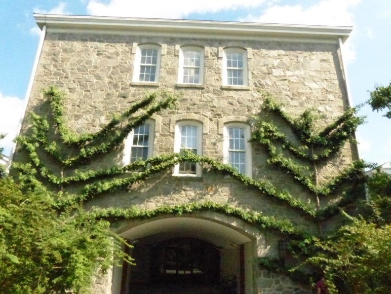 Saratoga ginkgo espaliered at Swarthmore College