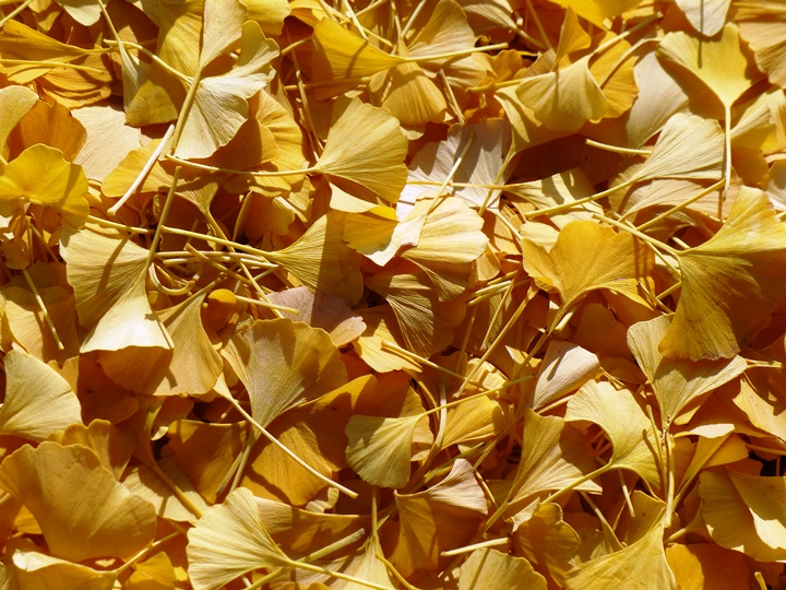 Ginkgo leaves fallen