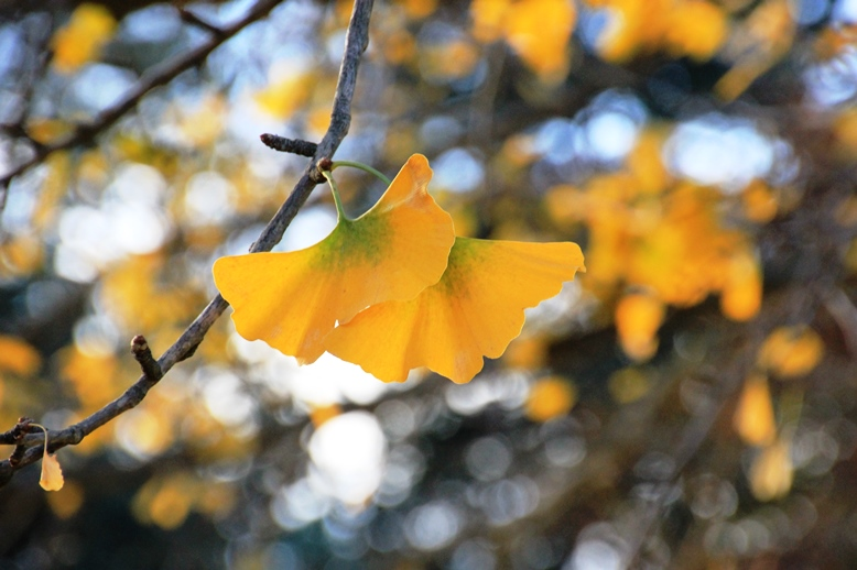 Ginkgo leaf turning