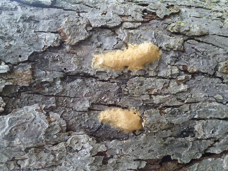 Gypsy Moth Egg Masses