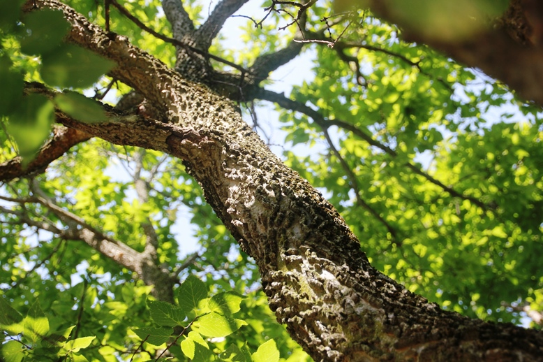 hackberry tree trunk