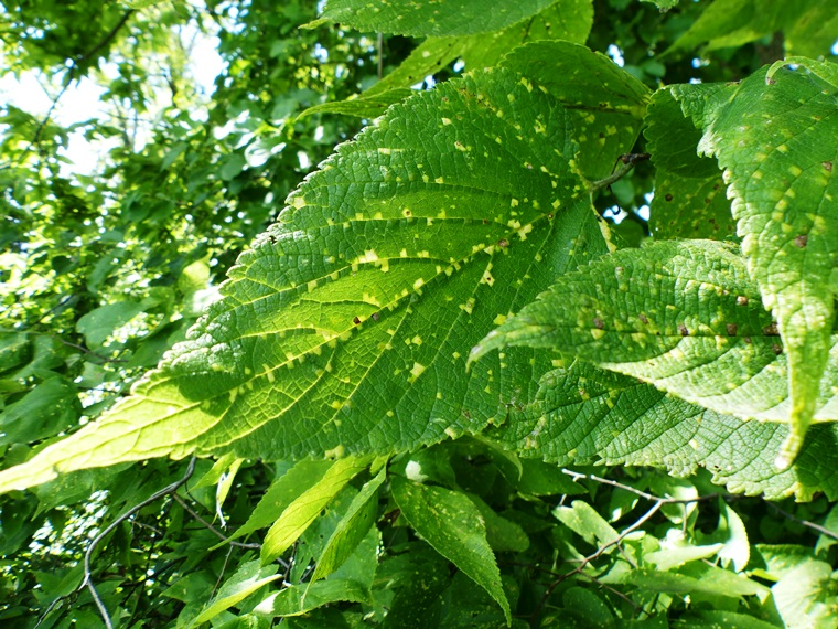 hackberry virus symptoms