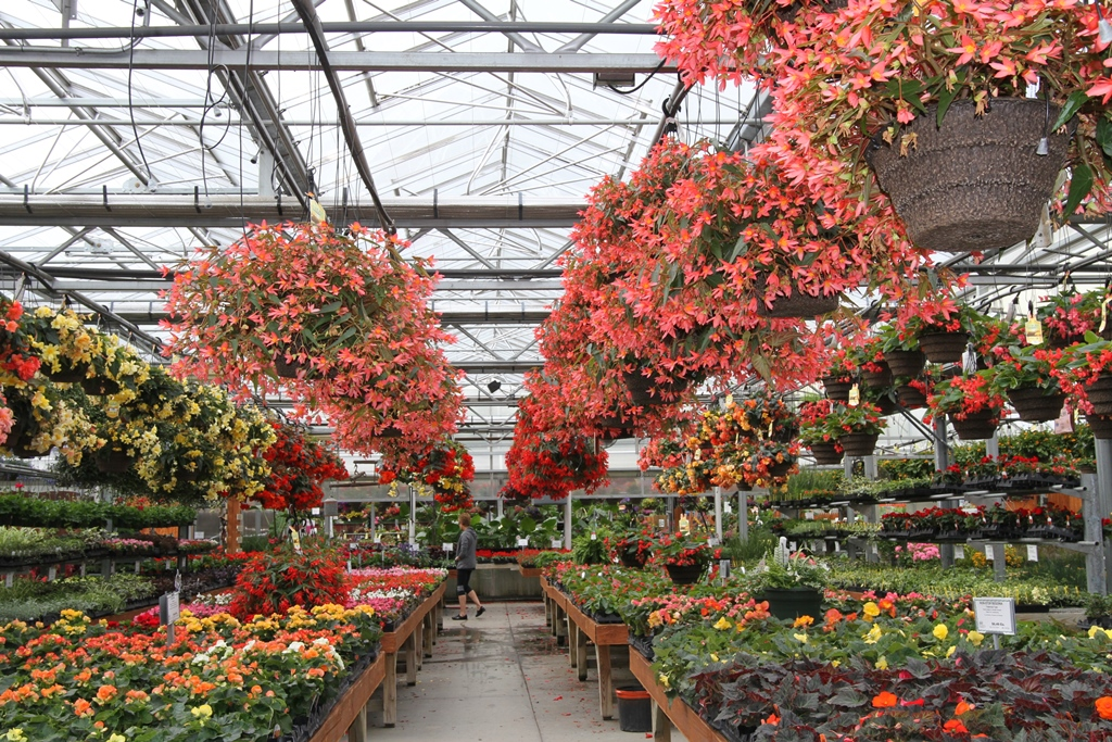 Hanging baskets of begonias can be found in garden centers now