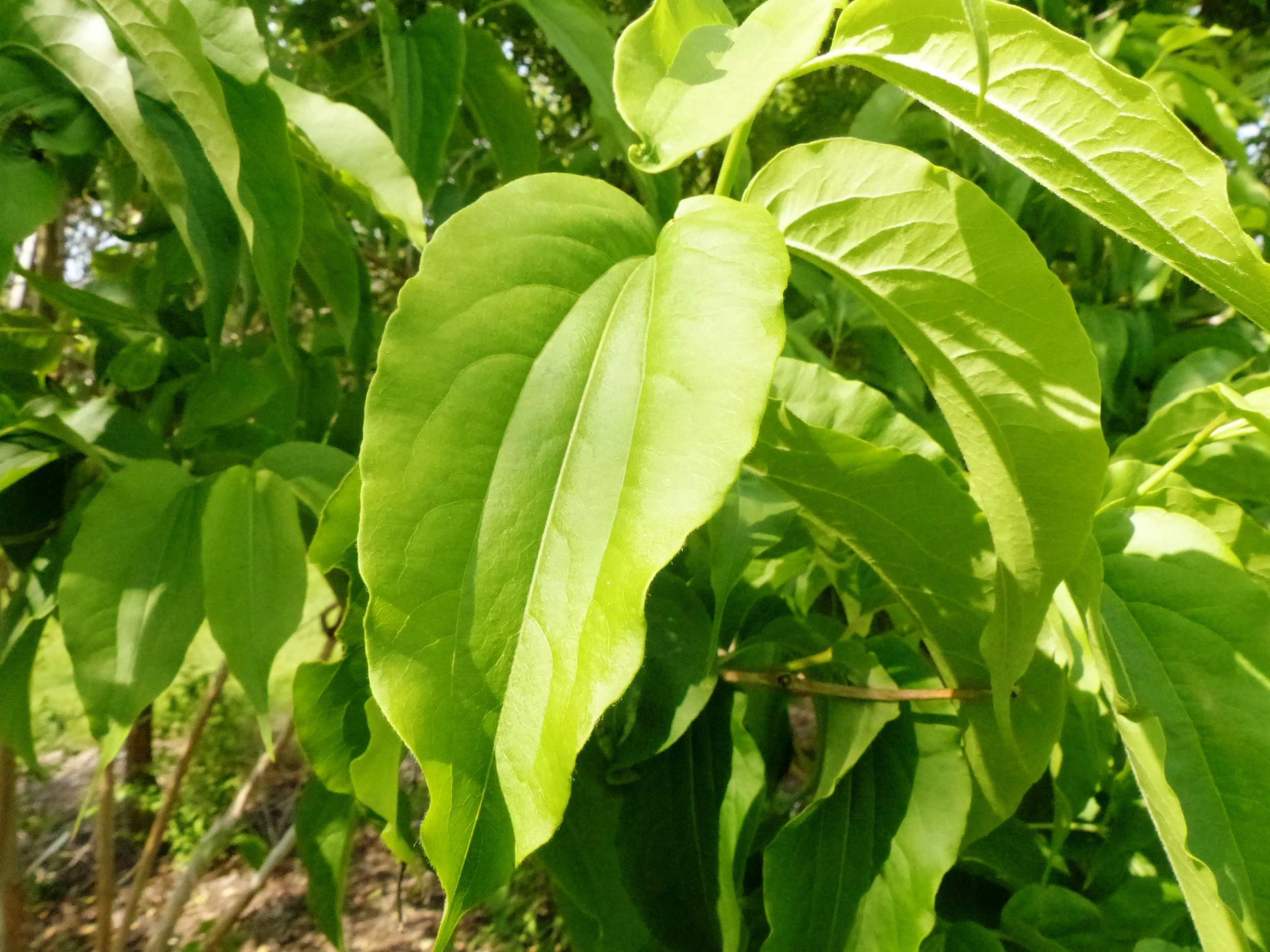 heptacodium leaves