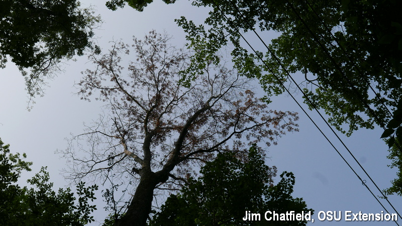 Dieback on pignut hickory