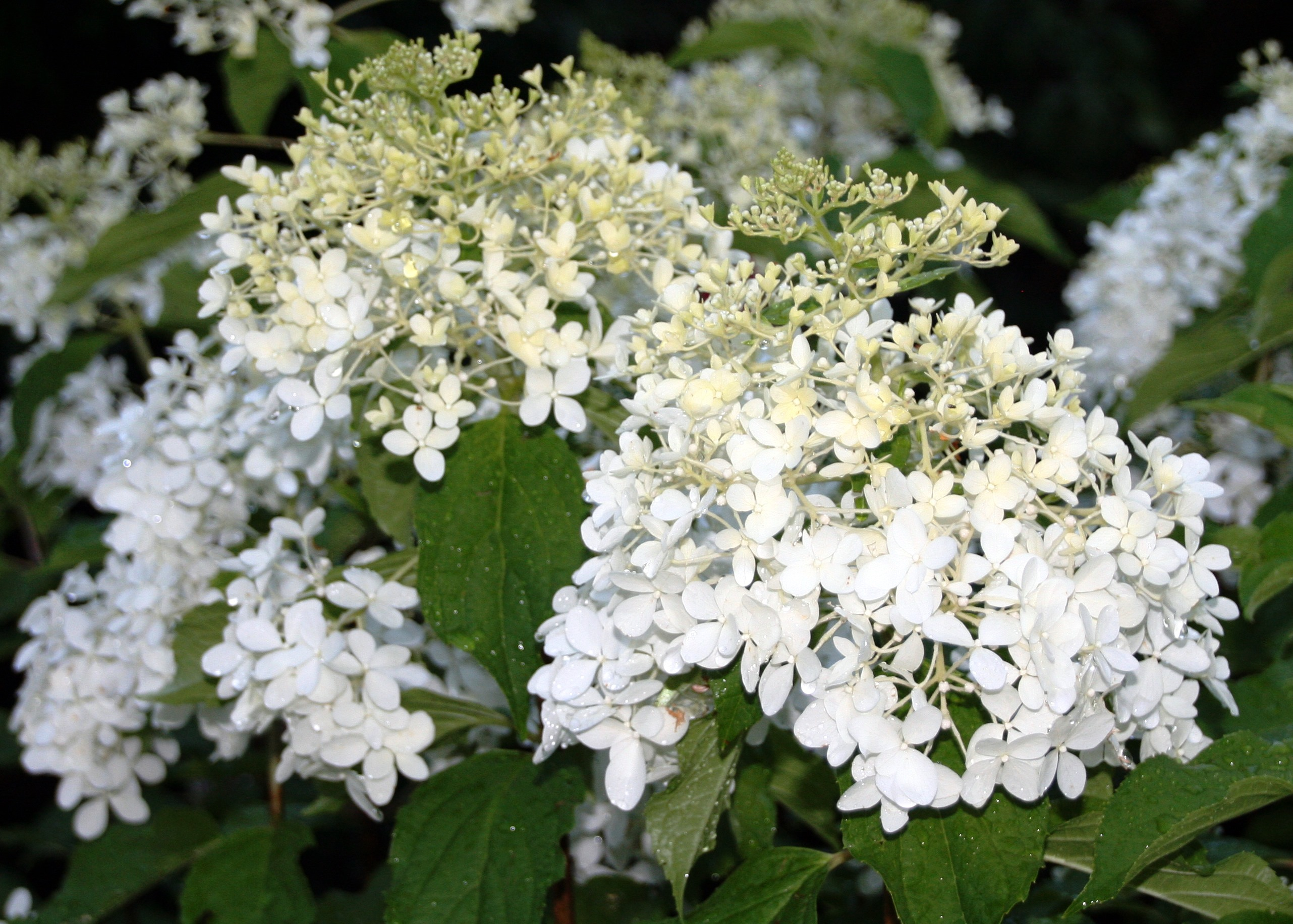 shrub of the week 39 phantom 39 hydrangea bygl. Black Bedroom Furniture Sets. Home Design Ideas