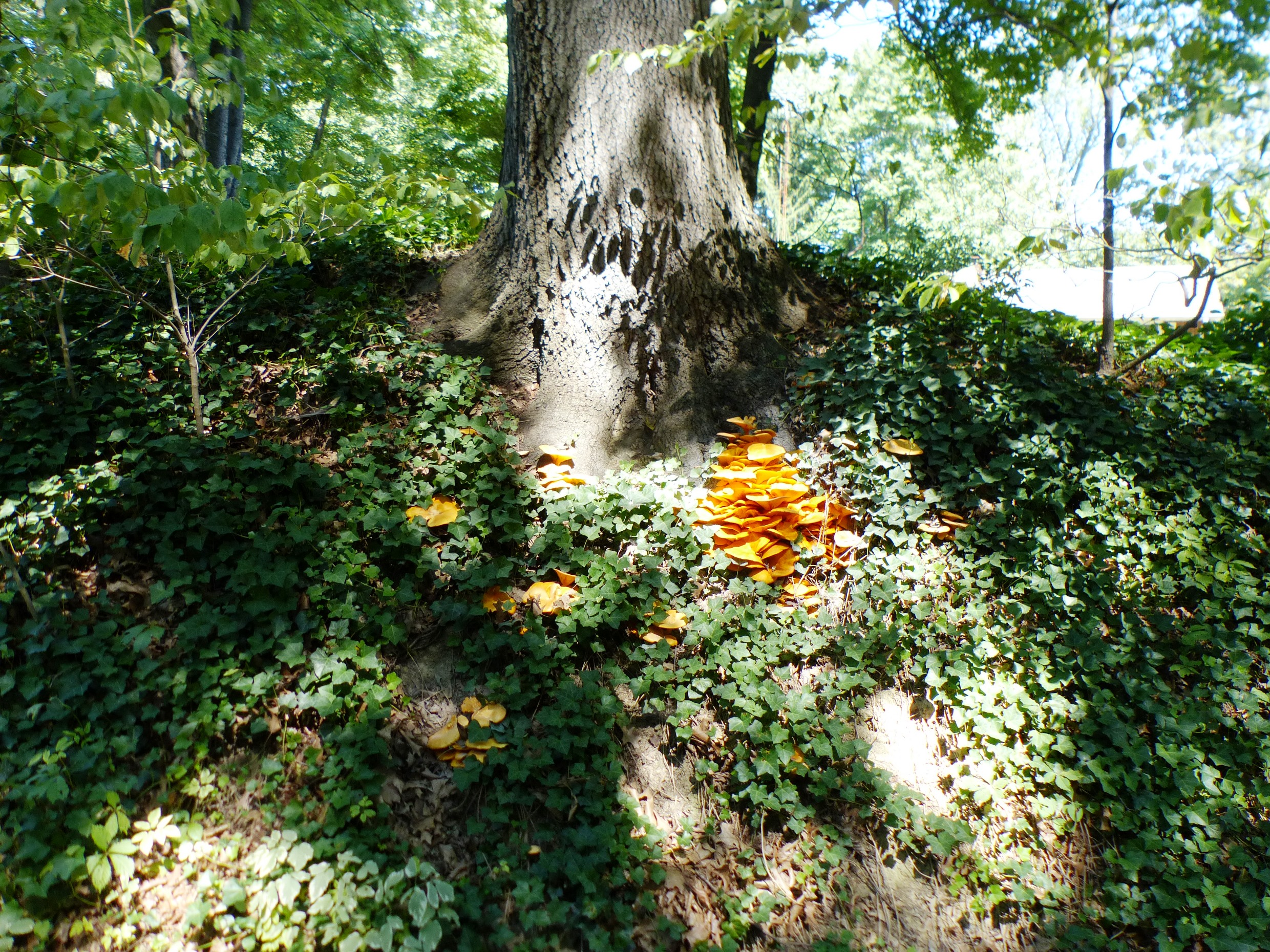 jack-o'-lantern on a bank with oak tree