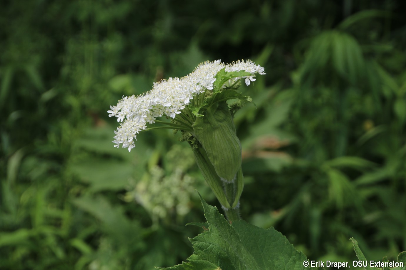 Leaf and flowers sheath of Cow Parsnip