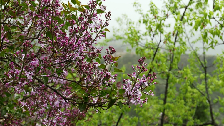 Lilac on Great Wall