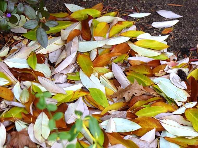 swetbay magnolia leaves on ground